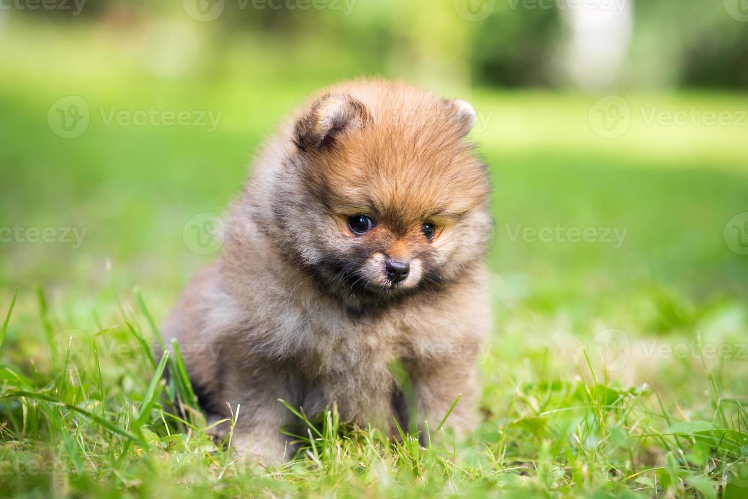 filhote de cachorro pequeno pomeranian foto