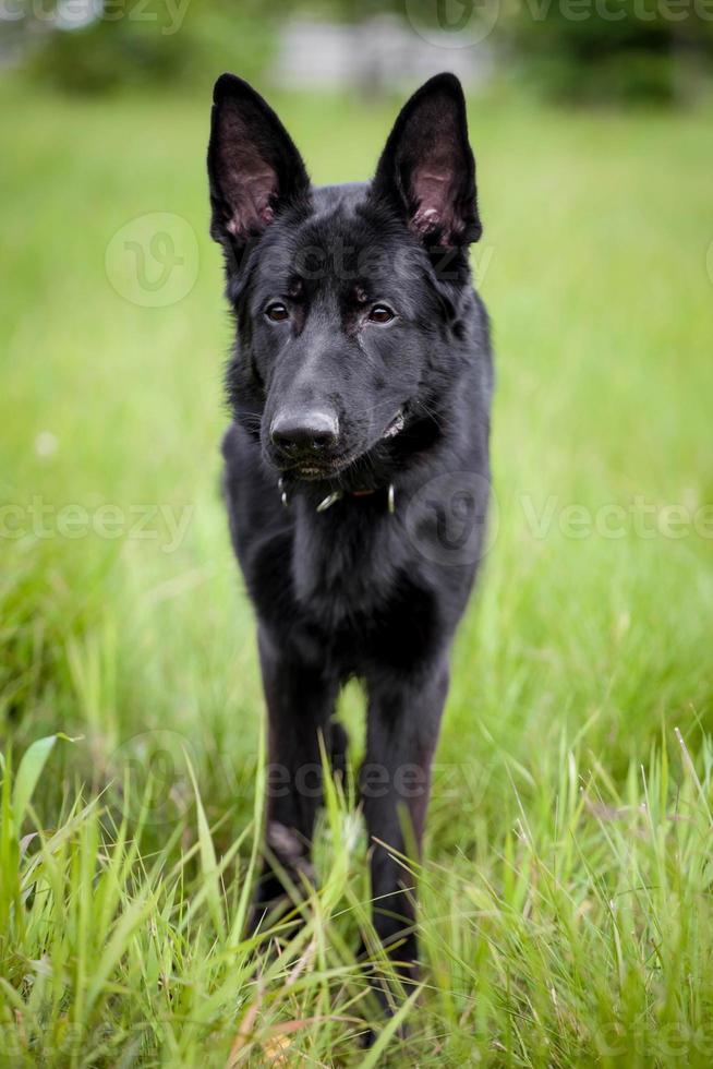 cão de pastor alemão na grama foto