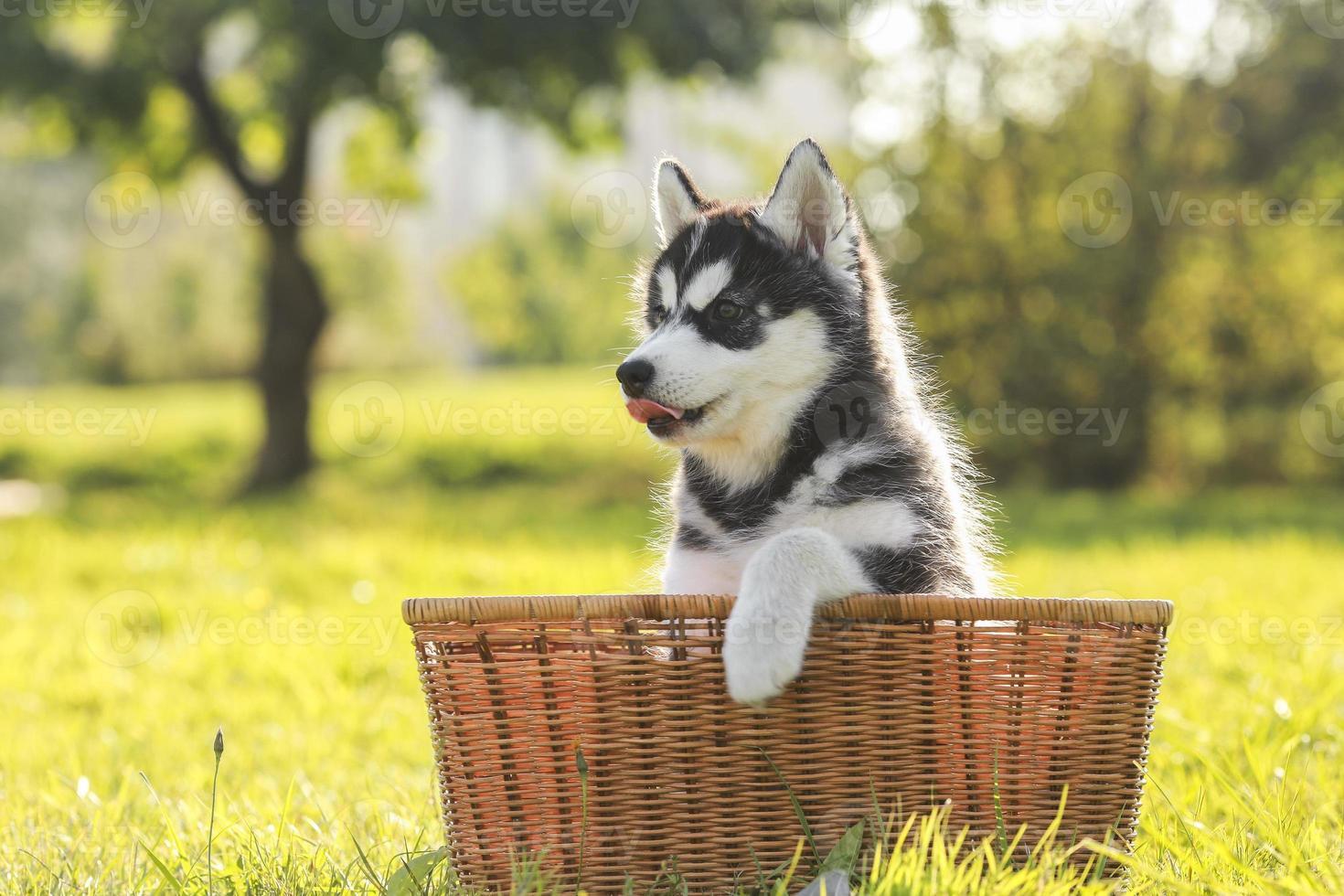 filhote de cachorro husky em uma cesta foto