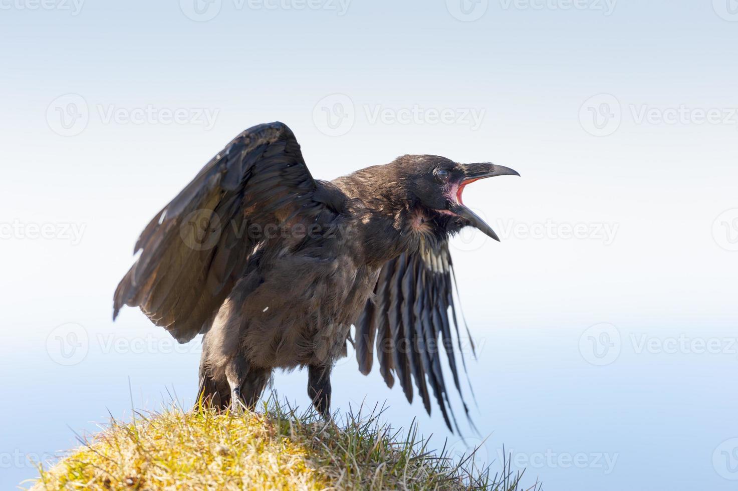 corvus corax, islândia foto