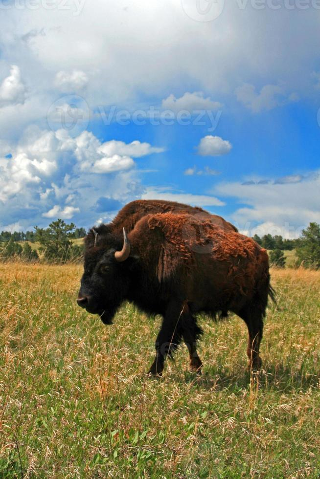 vaca de búfalo de bisonte americano no parque nacional da caverna do vento foto