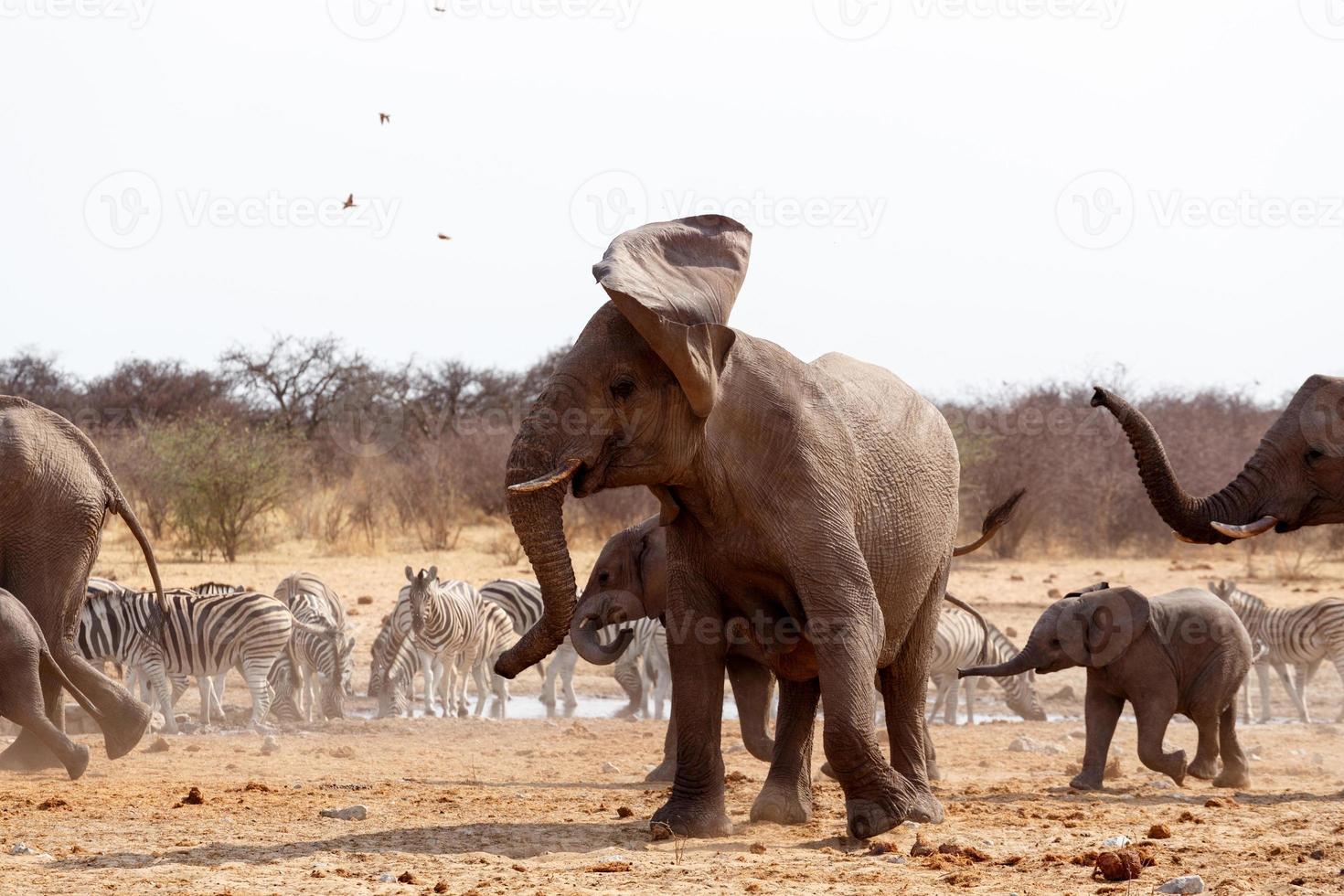 elefante bravo na frente ouvido foto