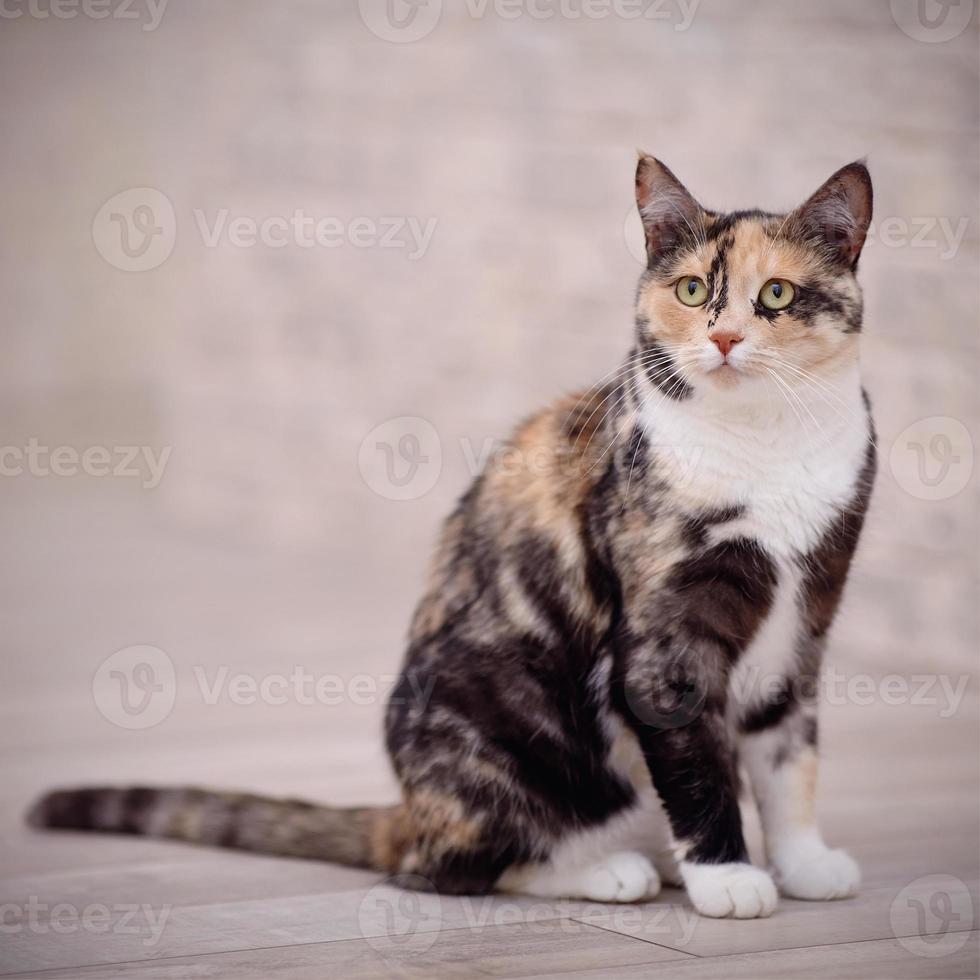 gato multi-colorido doméstico foto