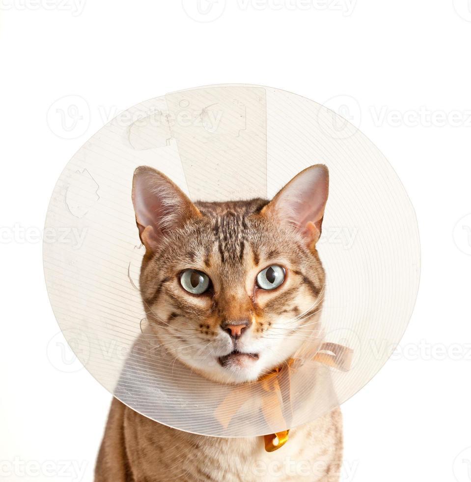 gatinho de Bengala, vestindo uma coleira no pescoço imbecil foto