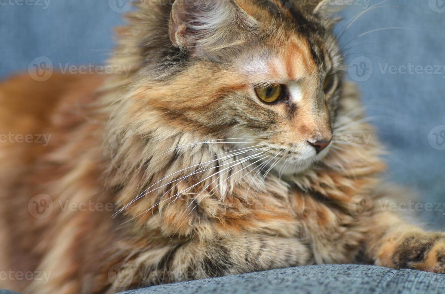 retrato de gato jovem bonito maine coon foto