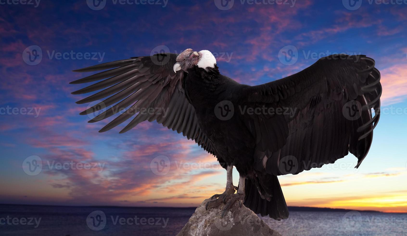 vultur gryphu) contra o céu do sol foto