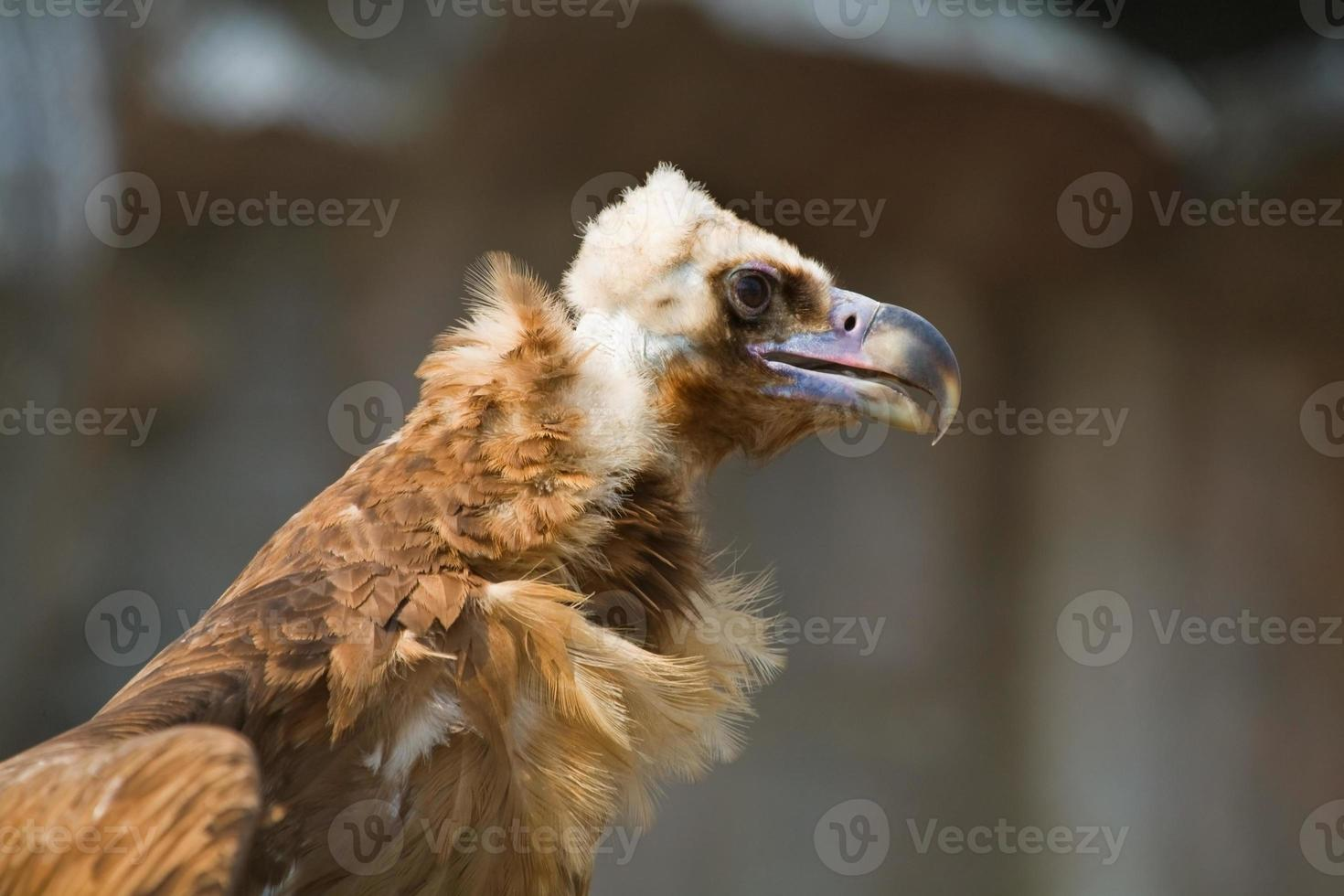perfil de abutre-monge foto
