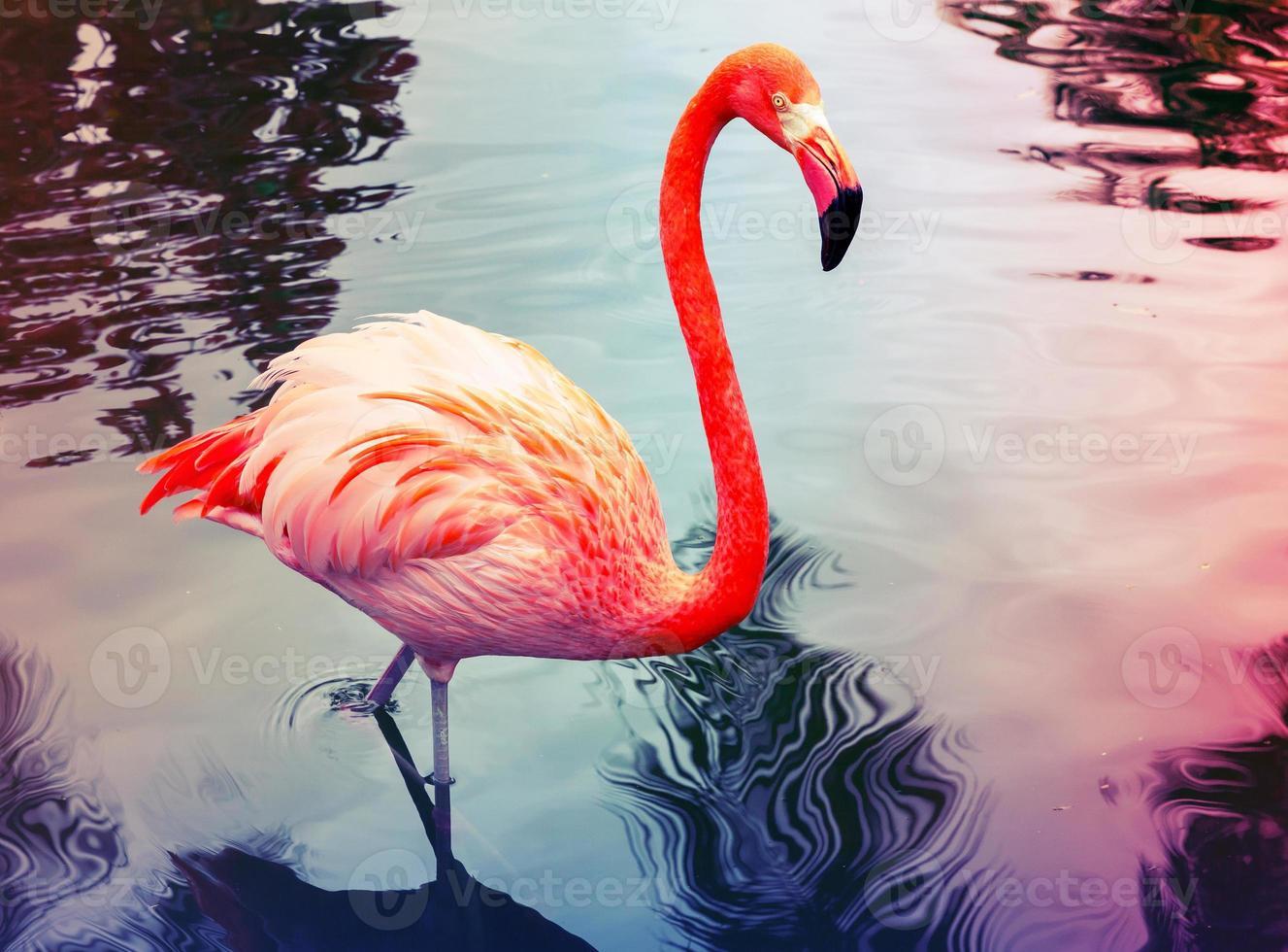 flamingo rosa entra na água com reflexões foto