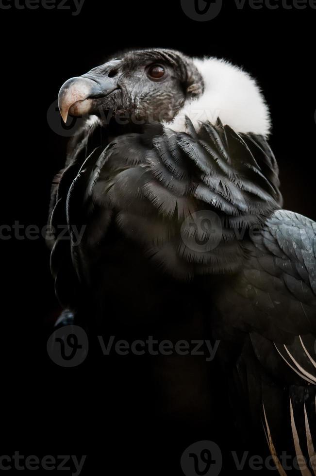 o condor andino (vultur gryphus) foto