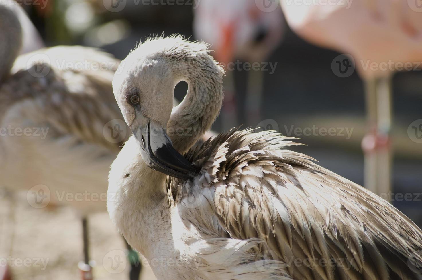 flamingo jovem foto