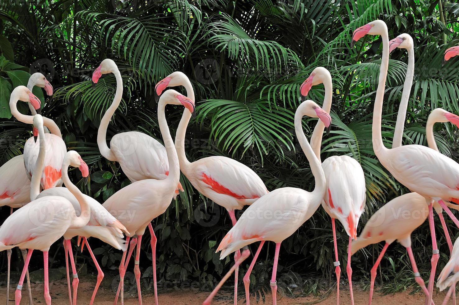 grupo de flamingos cor de rosa foto