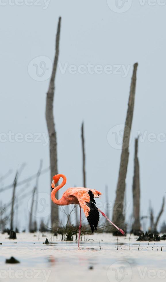 o balé flamingo rosa do caribe foto