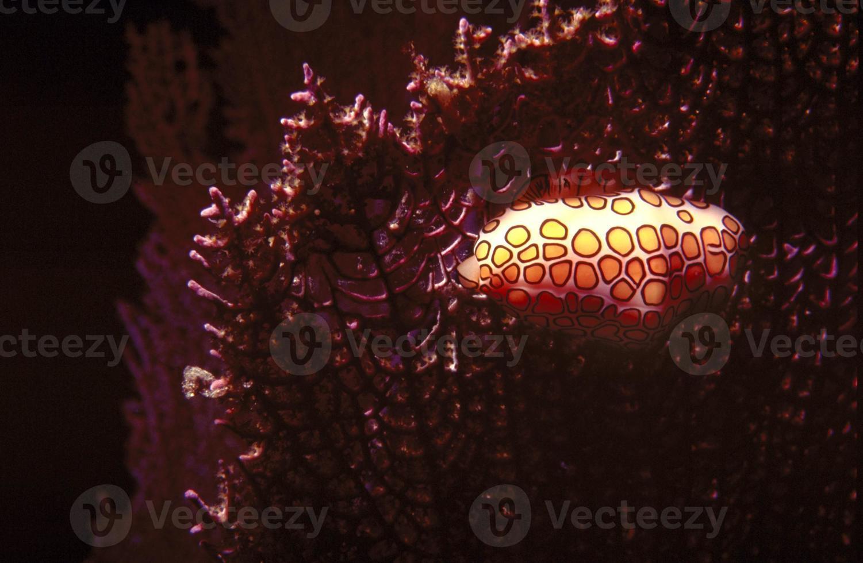 caracol de língua flamingo foto
