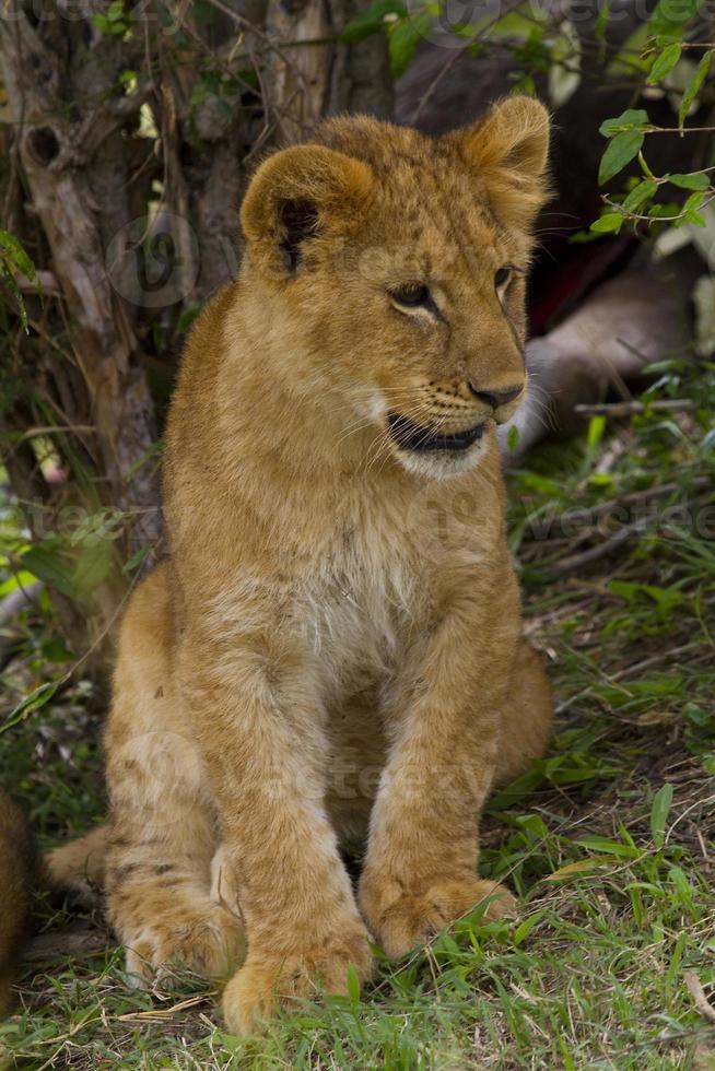 retrato de filhote de leão foto