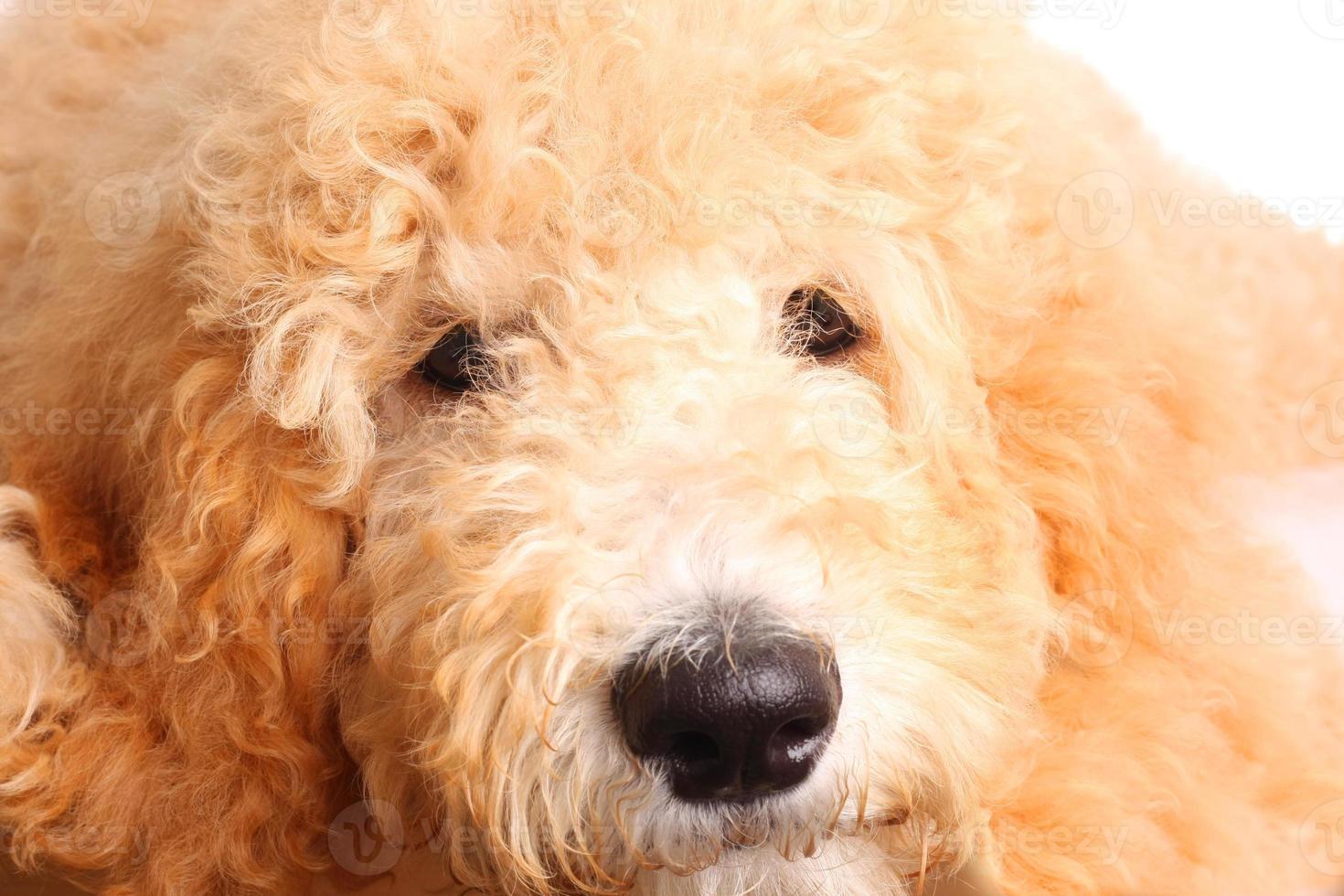 filhote de cachorro dourado doodle foto