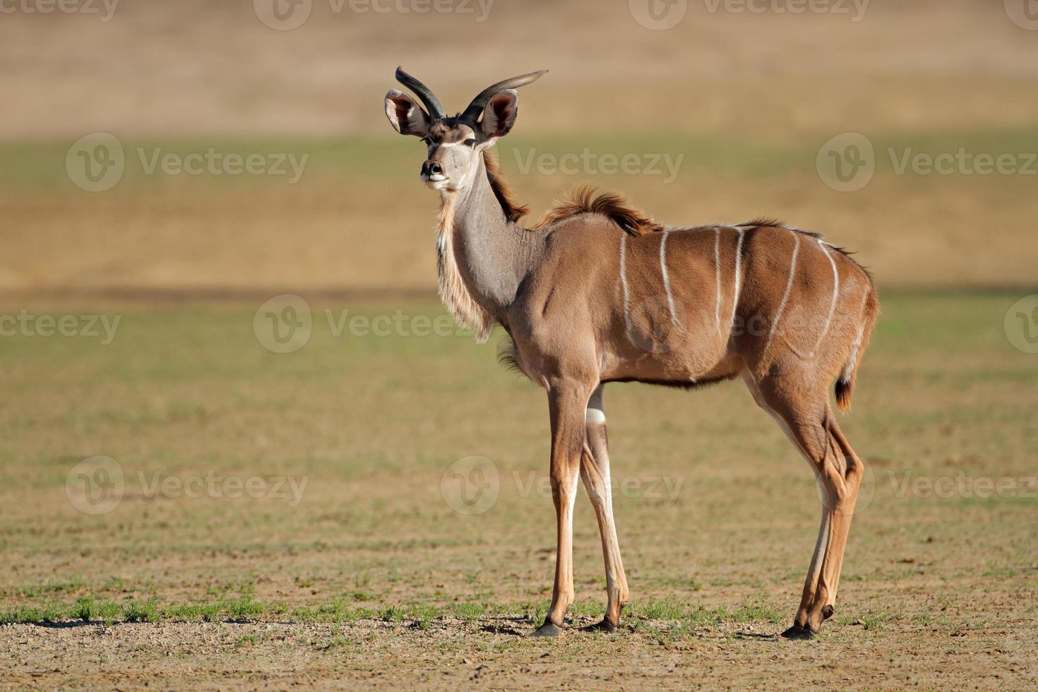 antílope kudu foto