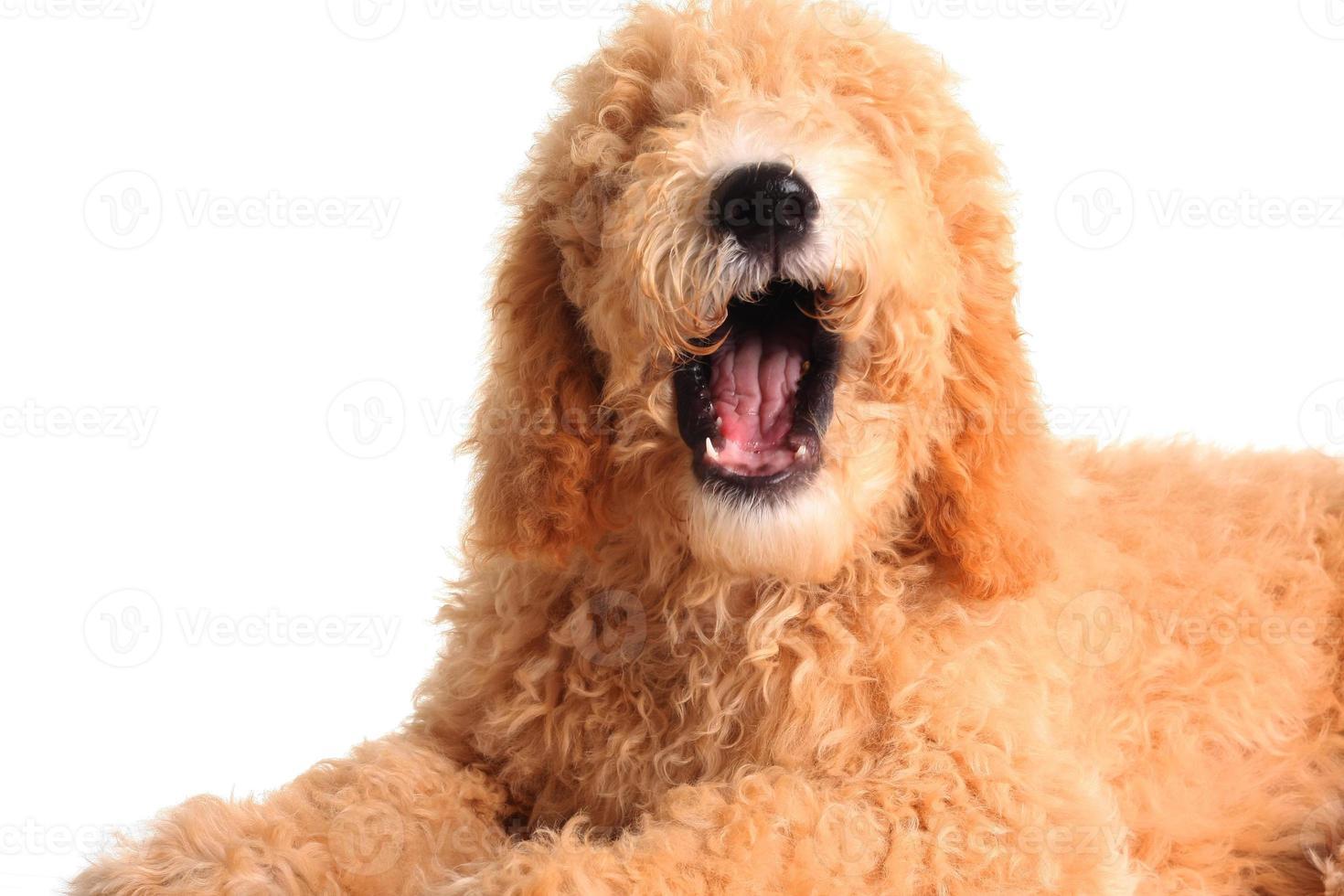 cachorro falante foto