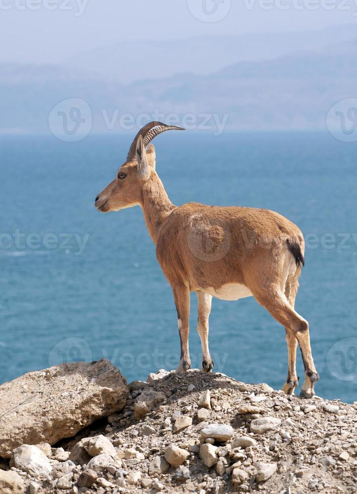 ibex núbio, capra nubiana foto