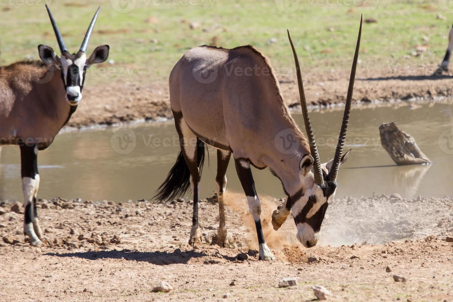 água potável com sede de orix na lagoa no deserto quente e seco foto