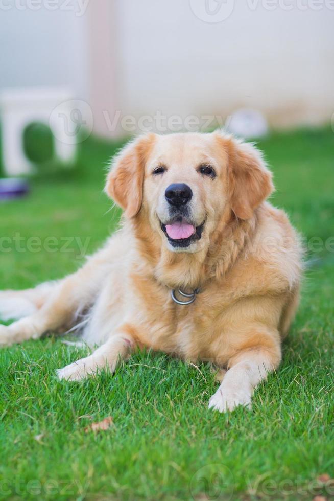 cão retriever dourado no verde foto