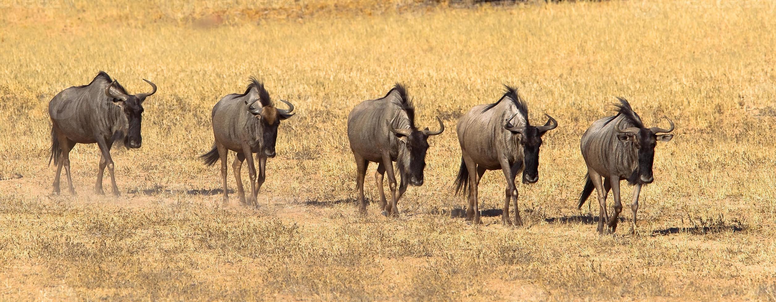 GNU andando na fila foto