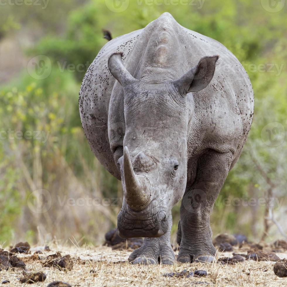 rinoceronte branco do sul no parque nacional kruger foto