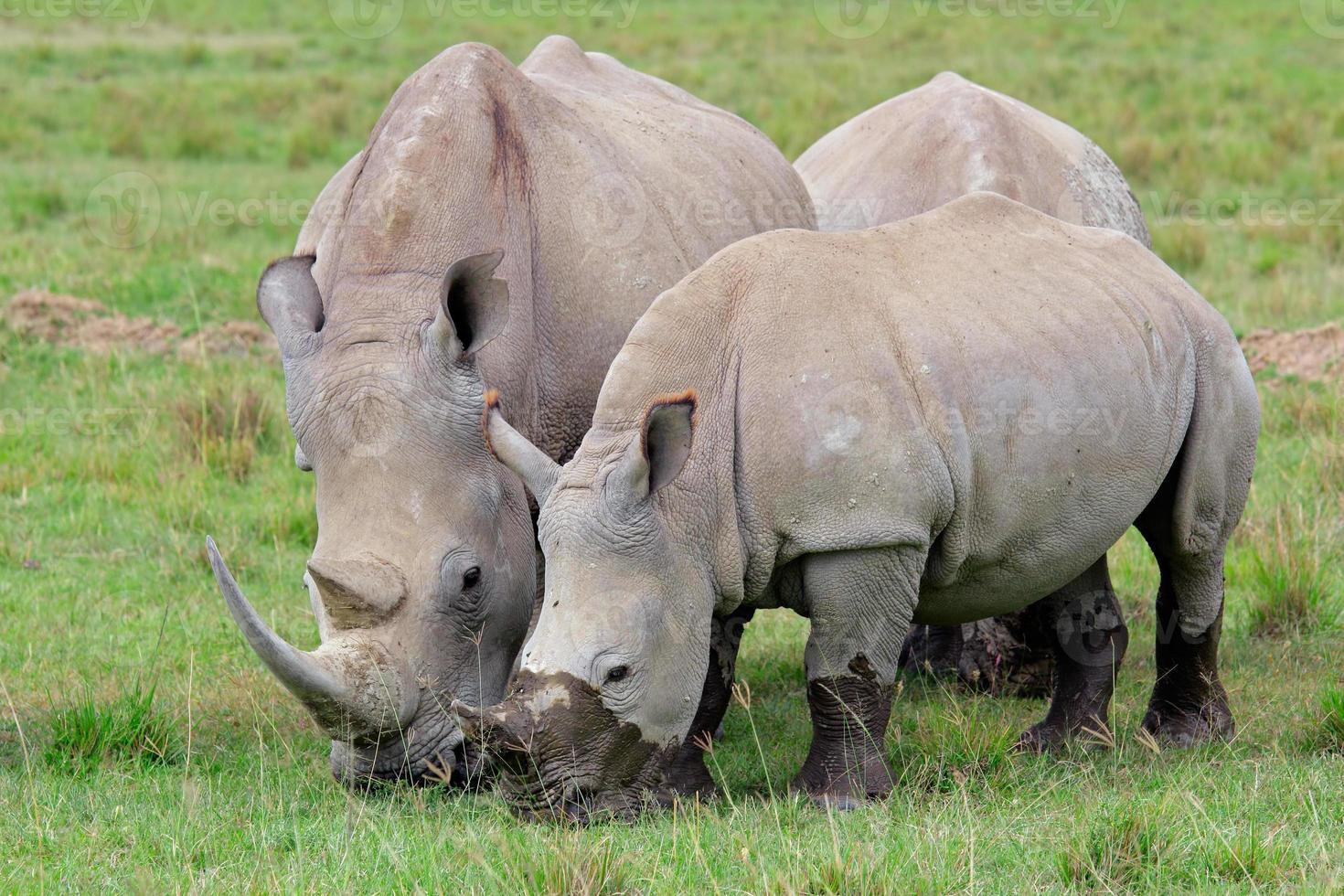 alimentação de rinoceronte branco foto