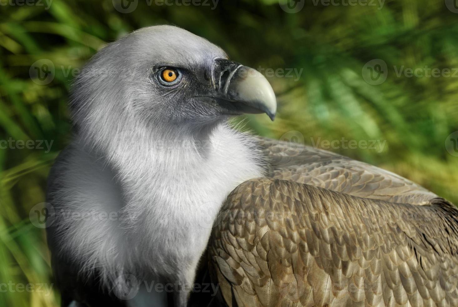 abutre de grifo foto