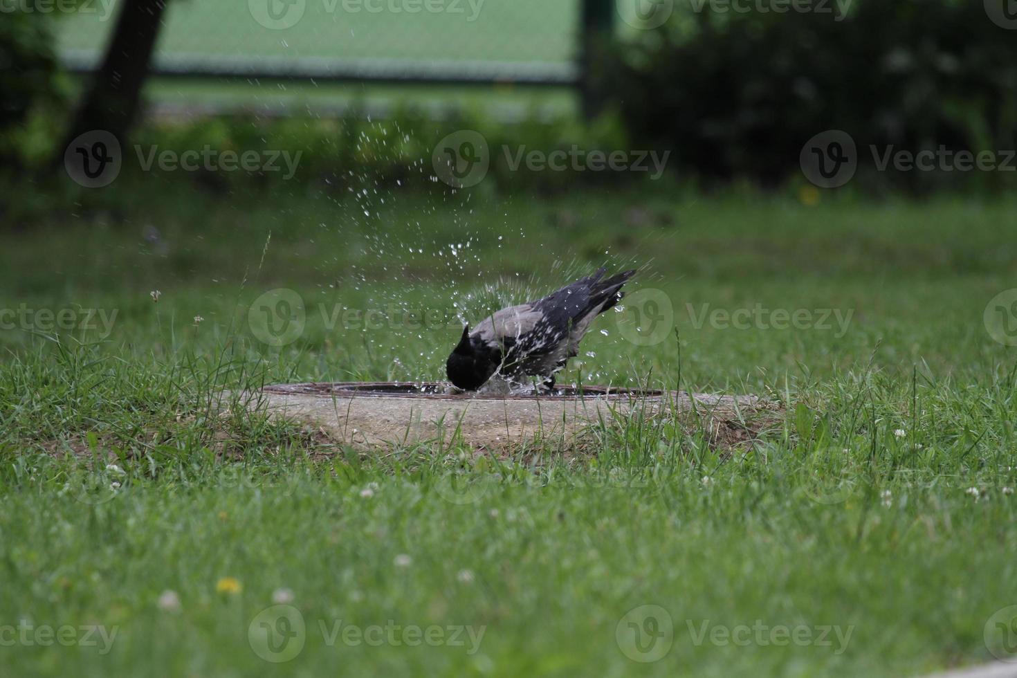 corvo estava lavando foto