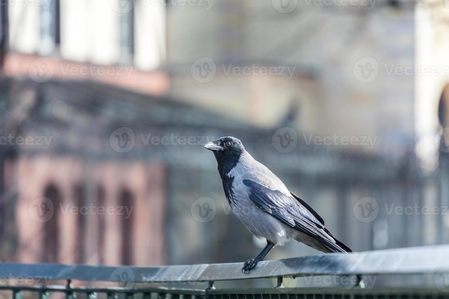 corvo com capuz, sentado em um trilho de mão foto