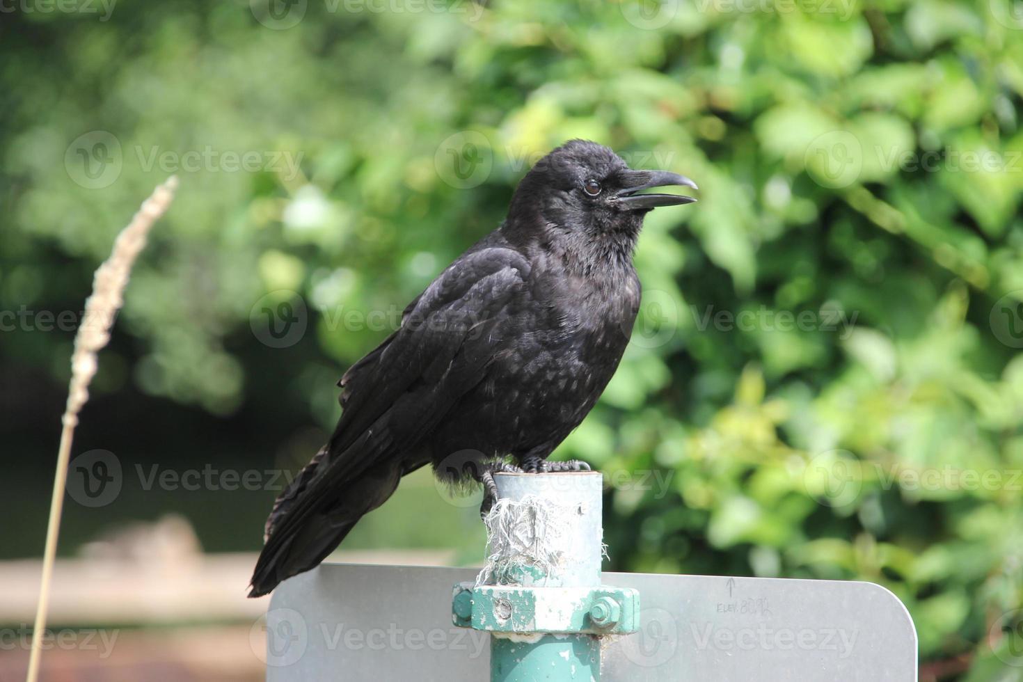 corvo de aparência sem espírito está gritando foto