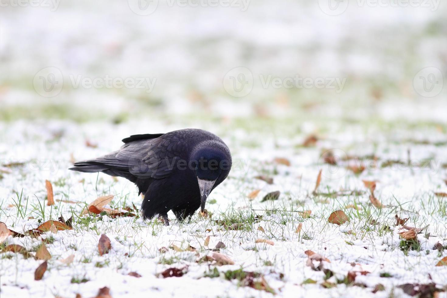 corvo negro forrageando em um dia de inverno foto