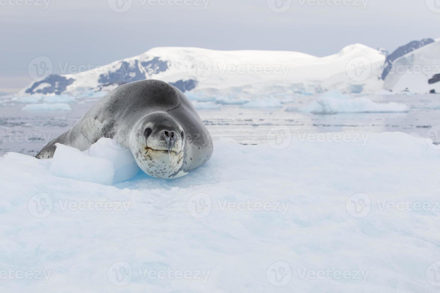 foca-leopardo no bloco de gelo foto
