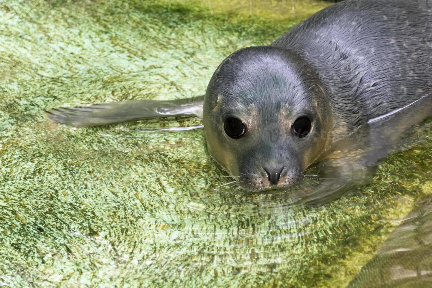 selo-porto recém-nascido (phoca vitulina) foto