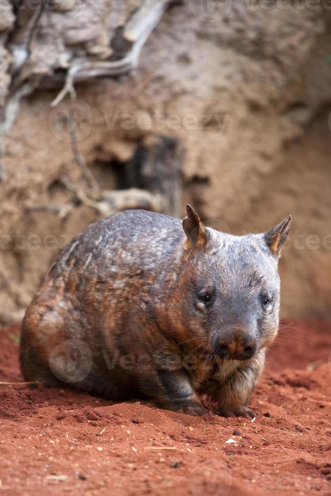 wombat de nariz peludo foto