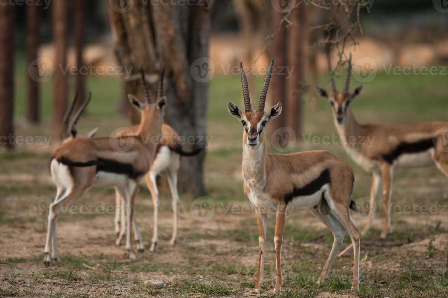 Thomson gazelle linda posando para uma fotografia foto