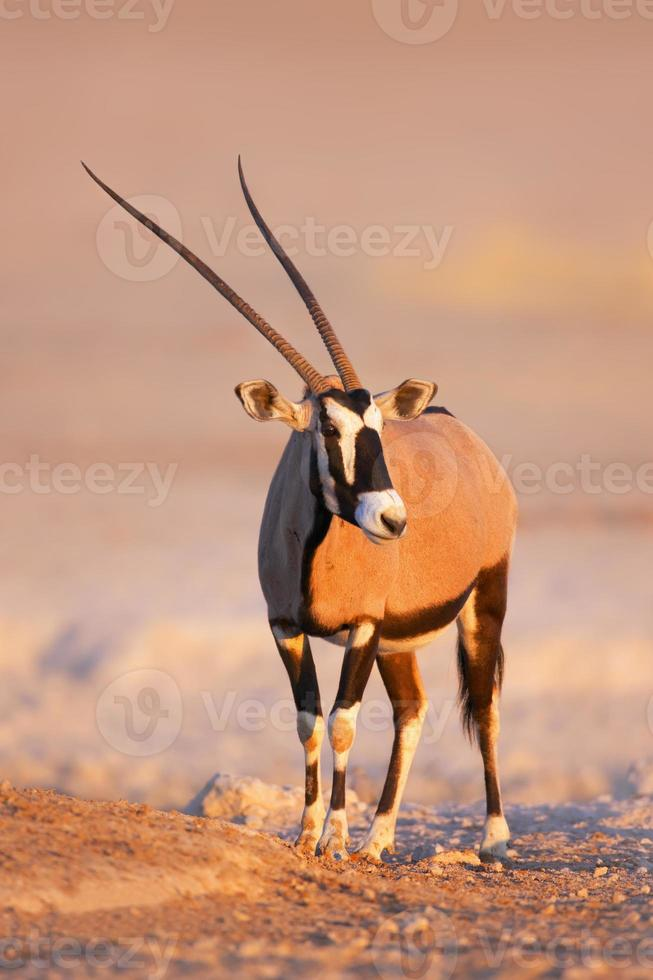 retrato de gemsbok foto