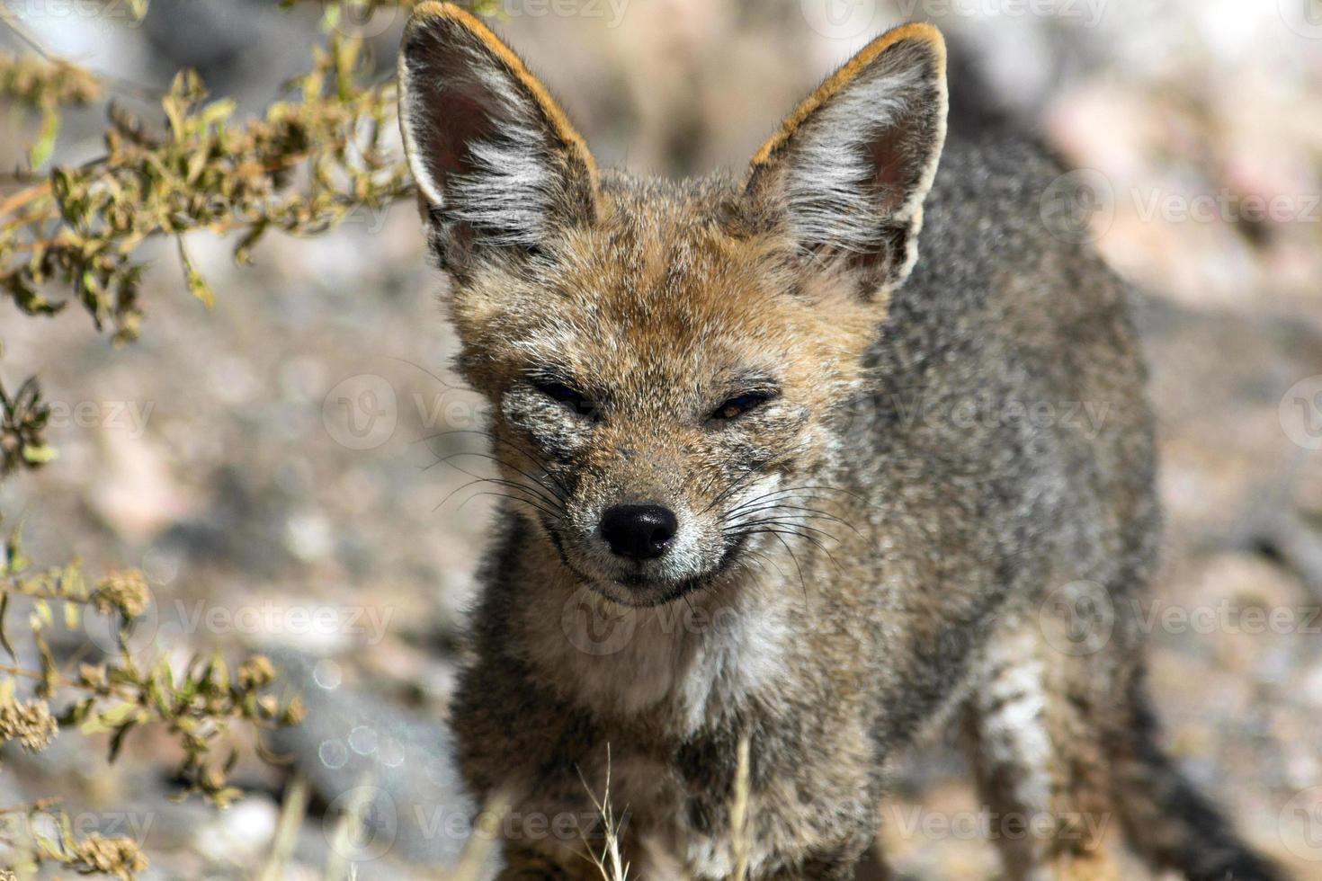 raposa bebê foto