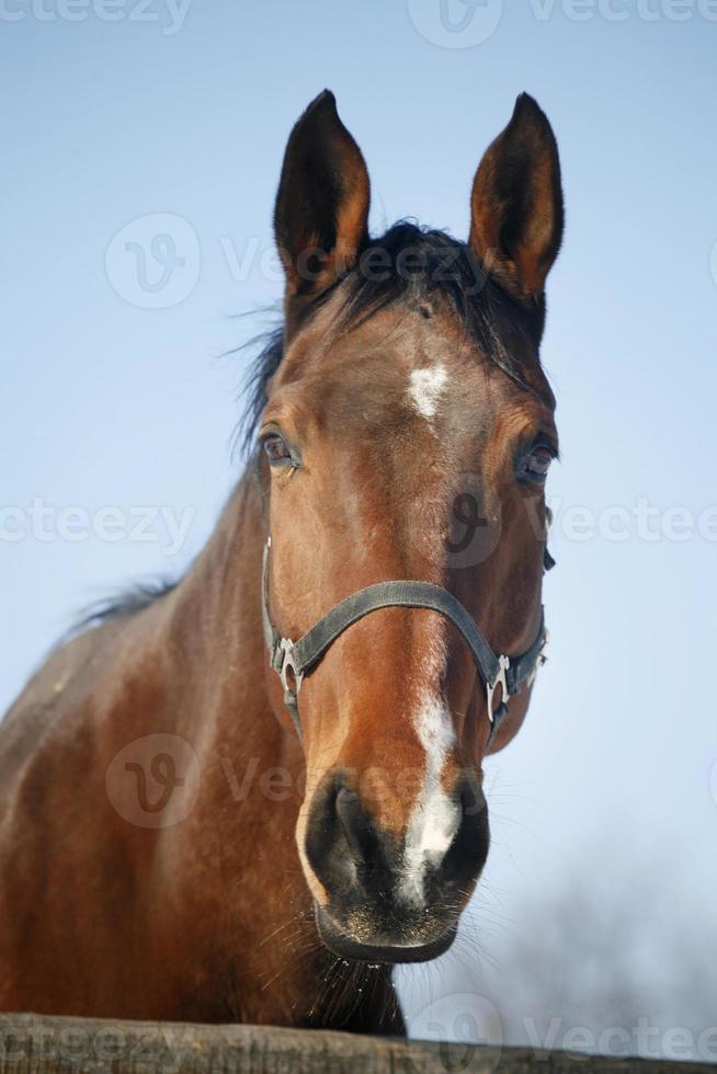 close-up de um cavalo baía no curral de inverno foto