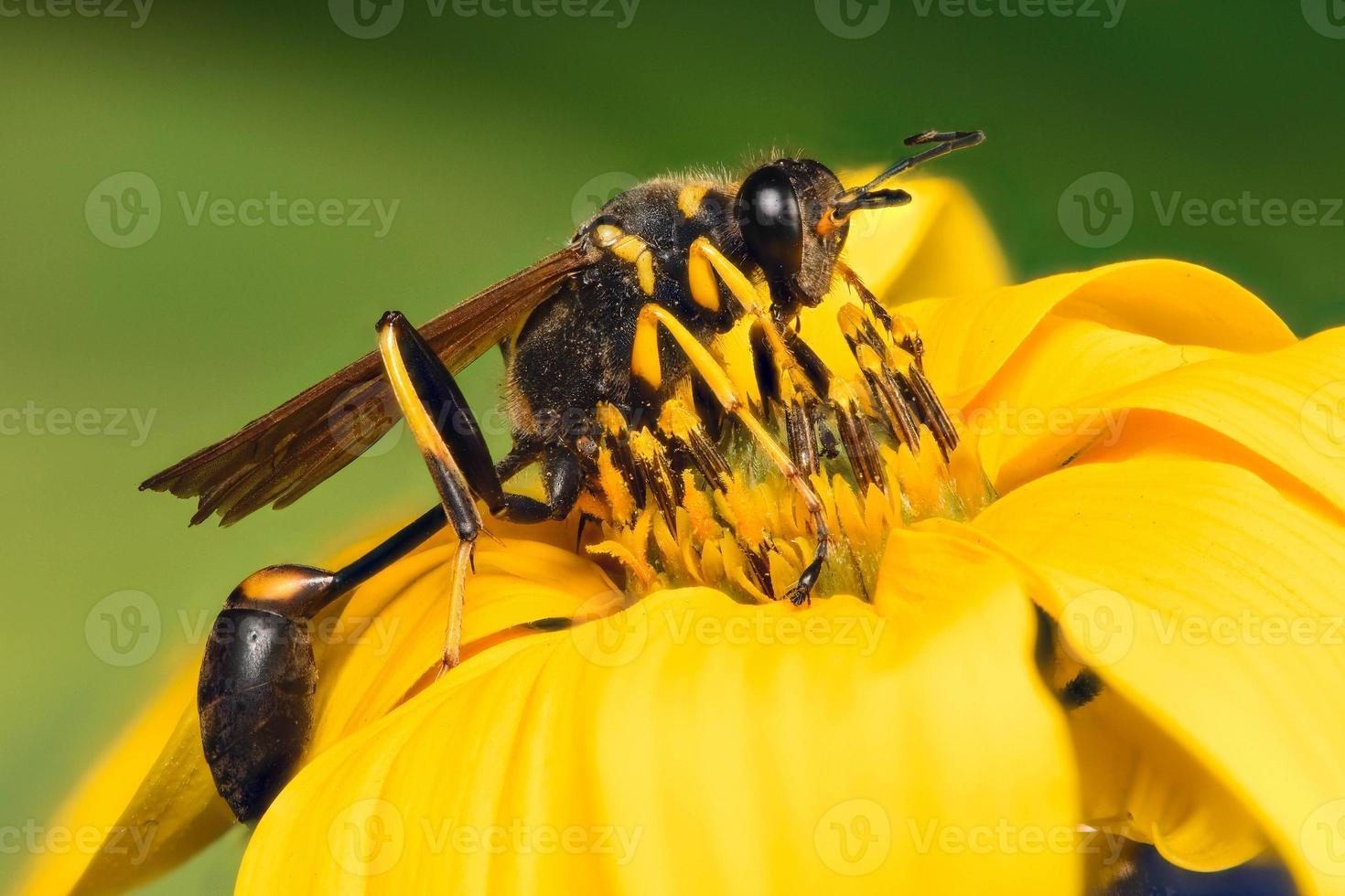 closeup extrema de uma vespa preta em uma flor foto