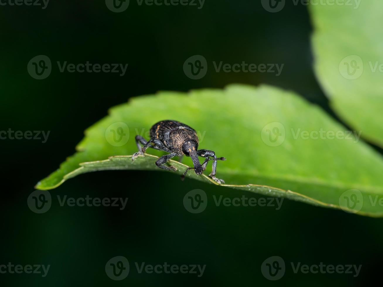hylobius abietis, também conhecido como o gorgulho do pinheiro grande - pragas foto