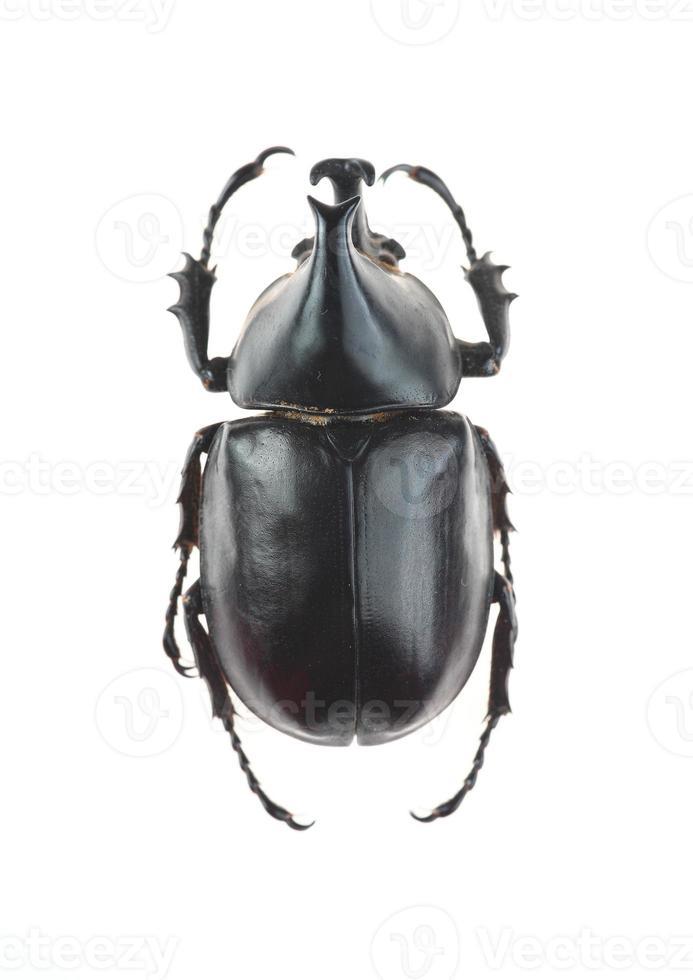 besouro com chifres grandes (xylotrupes gideon) foto