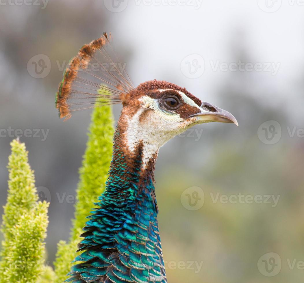 cabeça de pavão indiano masculino foto