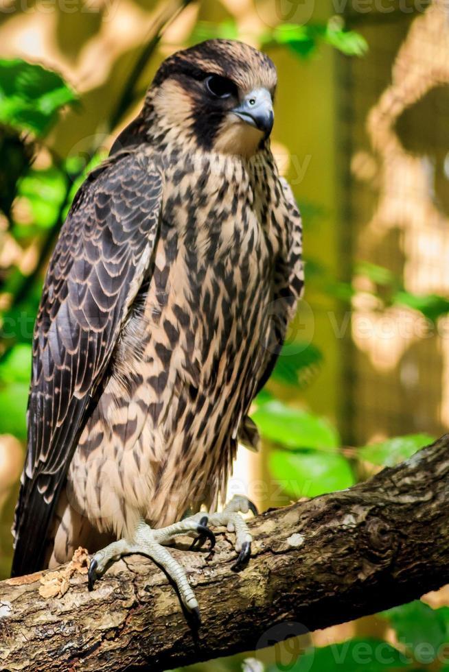 Falcão peregrino foto