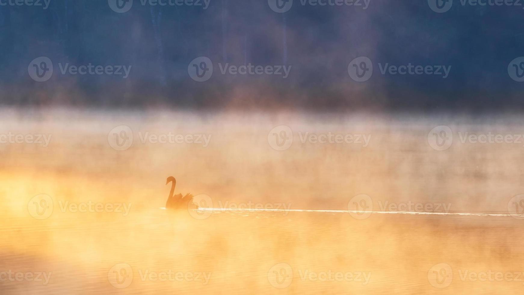 cisne negro em pang ung foto