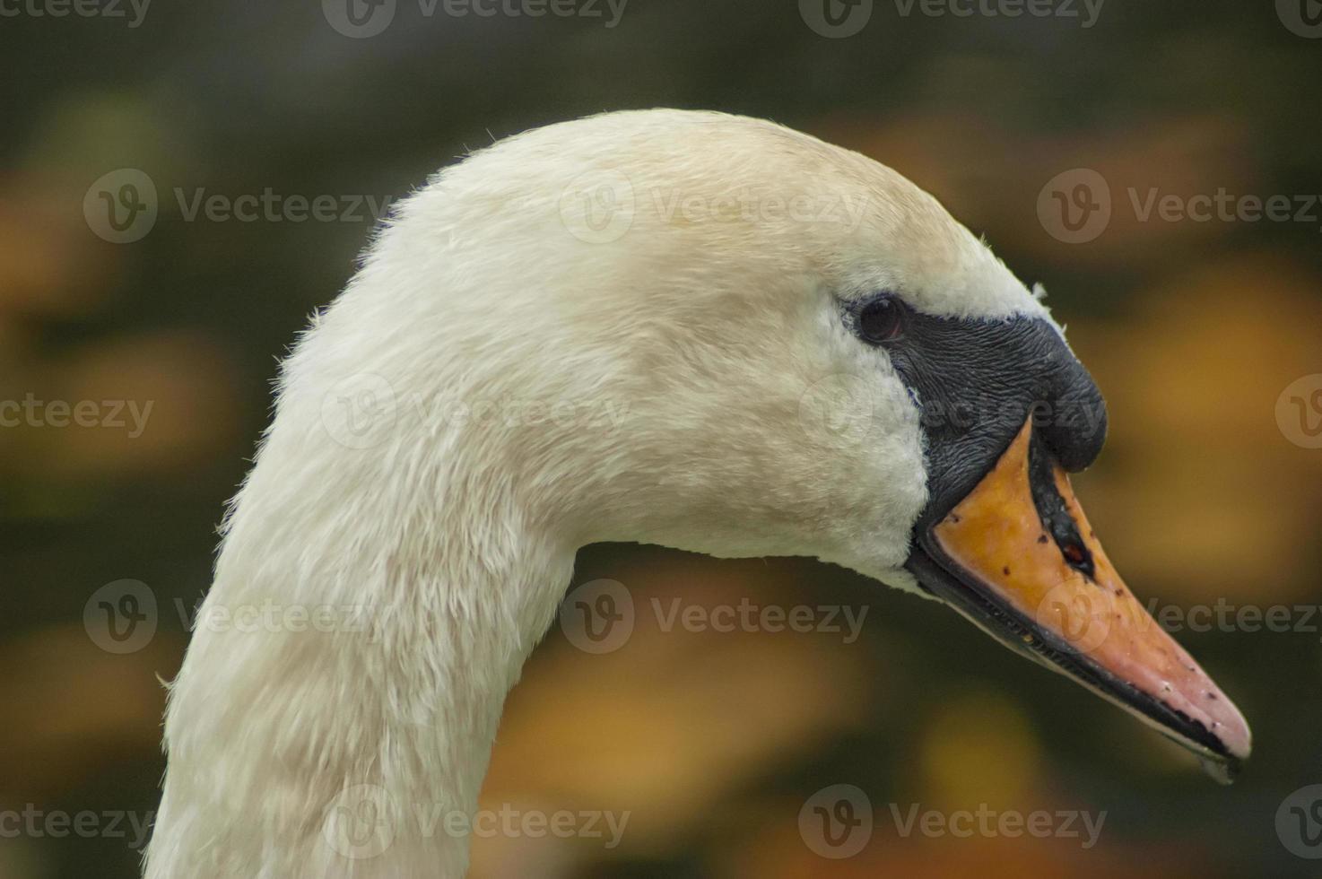 cabeça de cisne foto