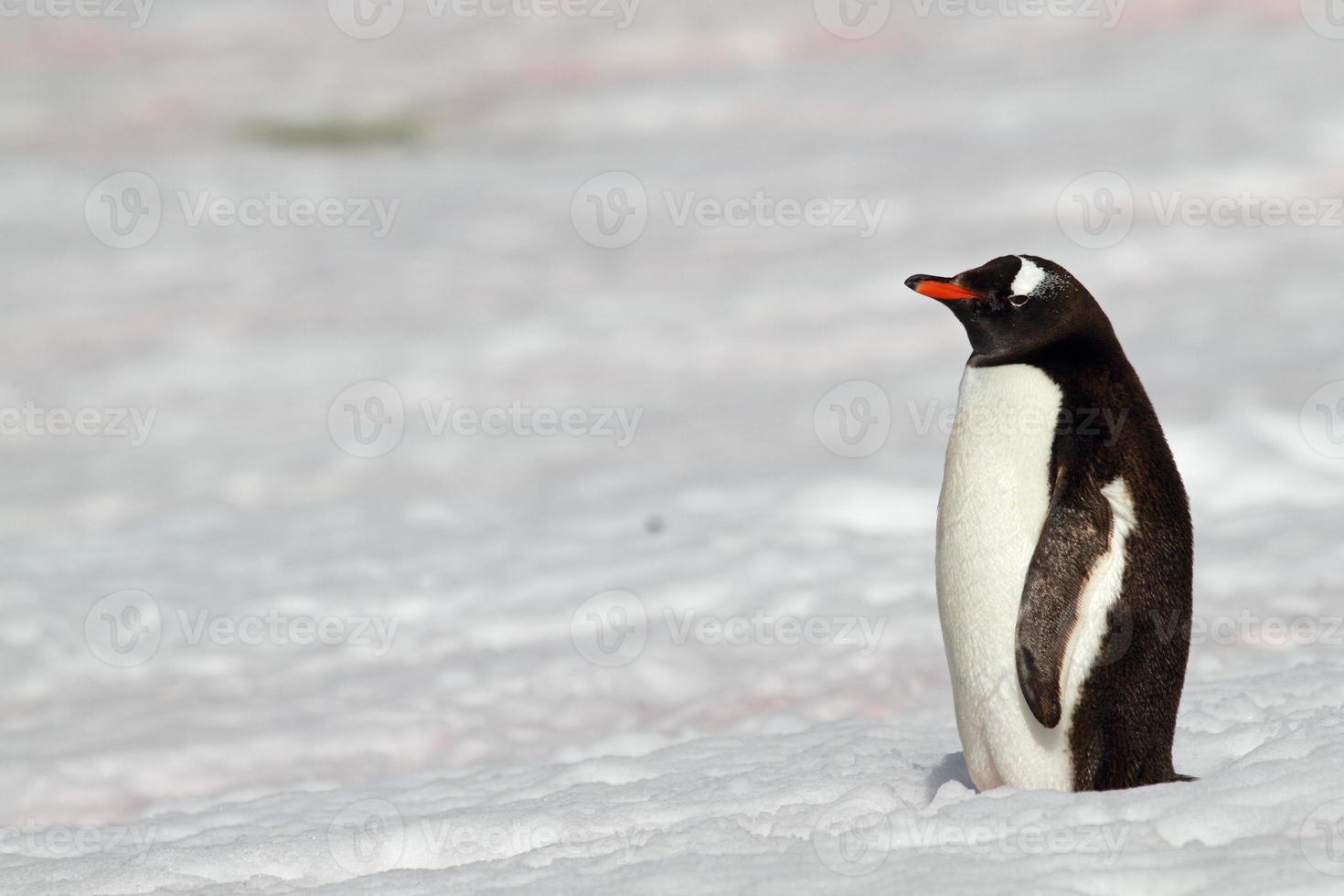 pinguim-gentoo na neve da Antártica foto