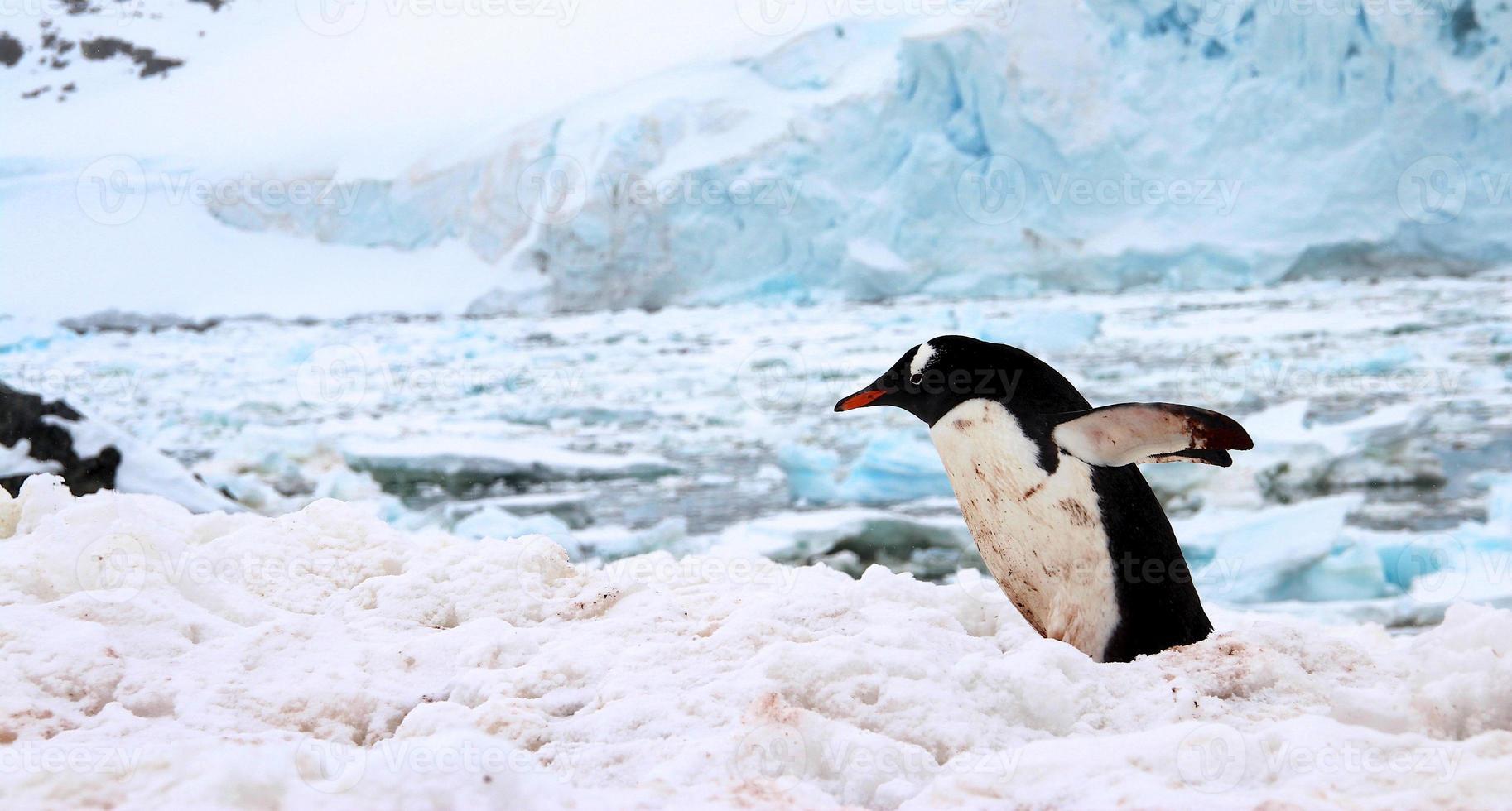 pinguim-gentoo, ilha de cuverville, antártica foto