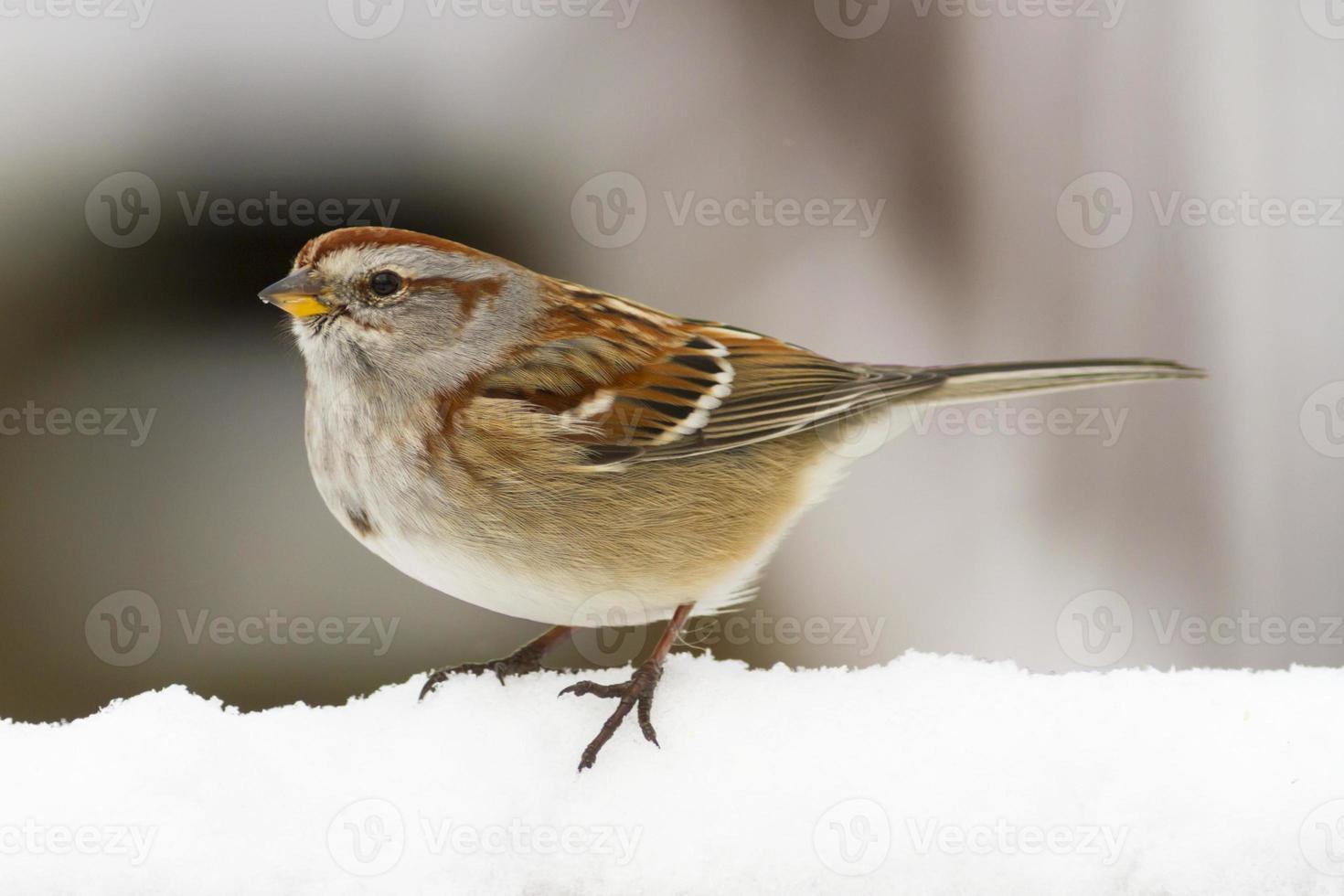 pássaro americano pardal na neve do inverno foto