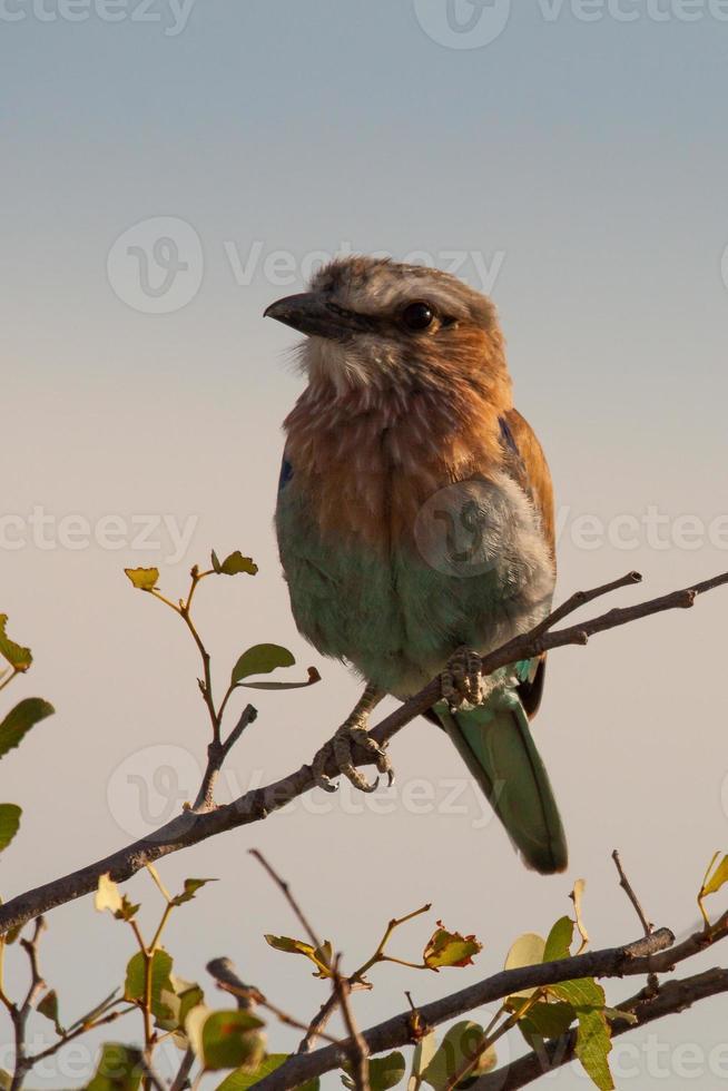 pássaro indiano rolo sentado em um membro, Namíbia foto